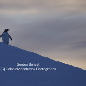 Gentoo Sunset