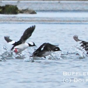 Buffleheads at Middle Marshes