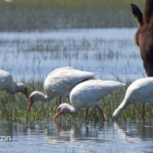 Ibises feeding with Horse