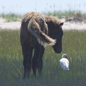 Foal meets Ibis