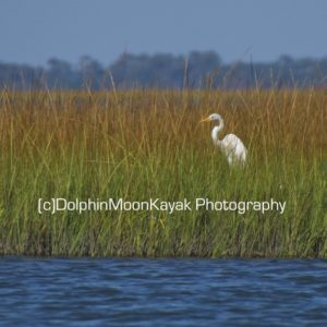 Great Egret in Fall Marsh