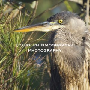 Great Blue Heron in the Pine