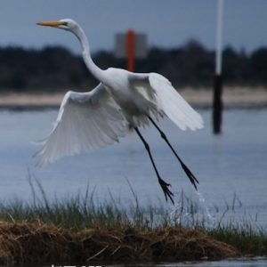 Great Egret Lift-off