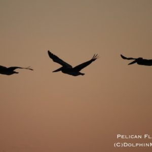 Pelican Flight Path