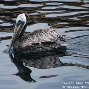 Reflecting Pelican