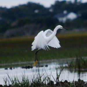 Snowy Egret Take-off