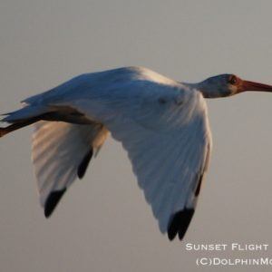 Sunset Flight of the Ibis