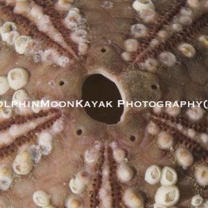 Urchin Star