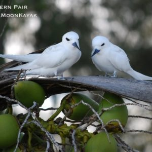 White Terns in Tree