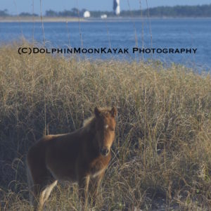 Shack Foal with Lighthouse