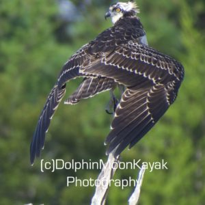 Juvenile Osprey Drying