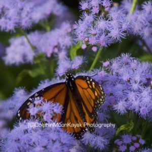 Monarch on Lavender